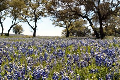 04-03-2005 Bluebonnets Near Inks Lake