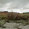 Rothbury heather