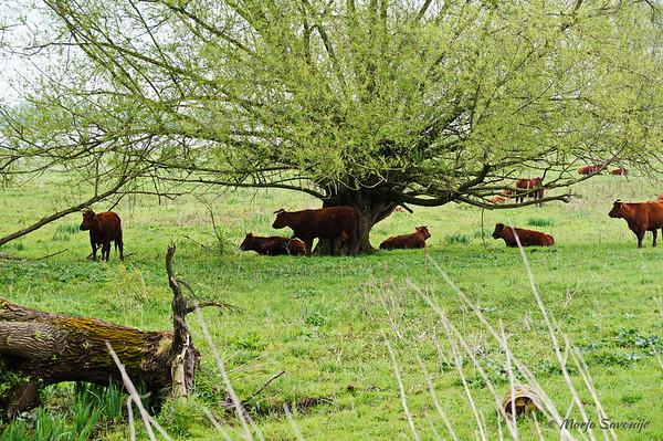 Cows near Loevestein Castle
