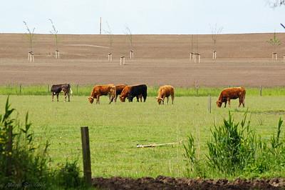 Koeien naast de Wakkere Dijk.jpg