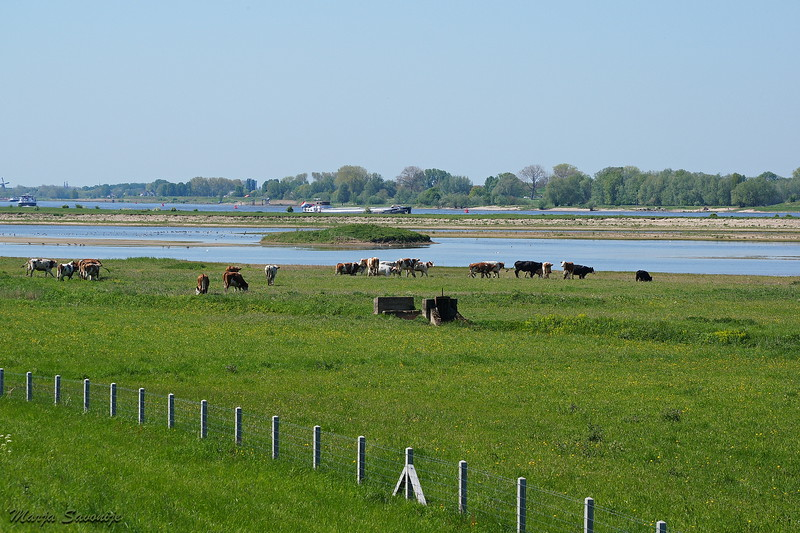 Cows along the river