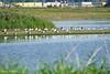 Een kolonie lepelaars in het Munnikenland