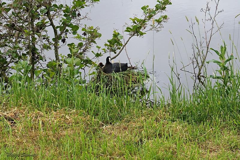 meerkoet op het nest