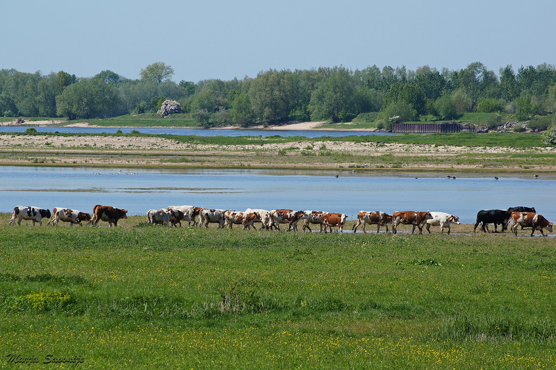 Cows enjoying their freedom