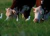 Cows pals.
