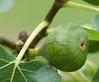 Fig Tree-5397