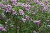 Lilac Tree 2008-1