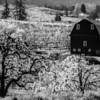 44  Barn and Blossoms BW