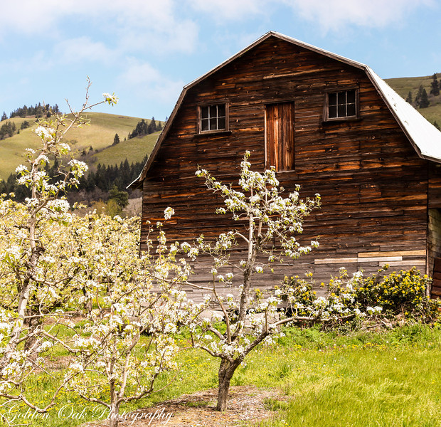 Old barn  and blooms as this weathered barn, the white of the pear blooms and the blue sky provide contrast