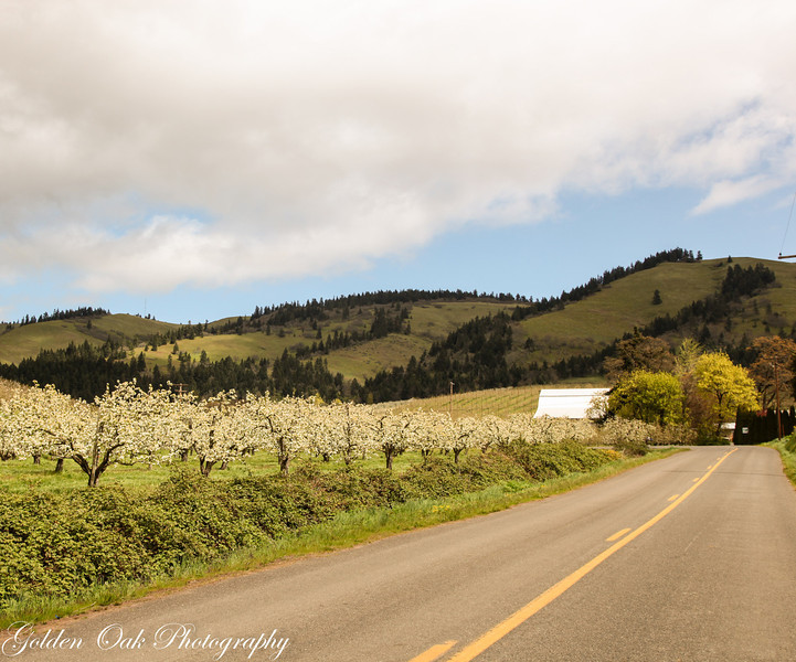 Gentle rolling hills and white blooms are found everywhere in the fruit loop at this time of year!