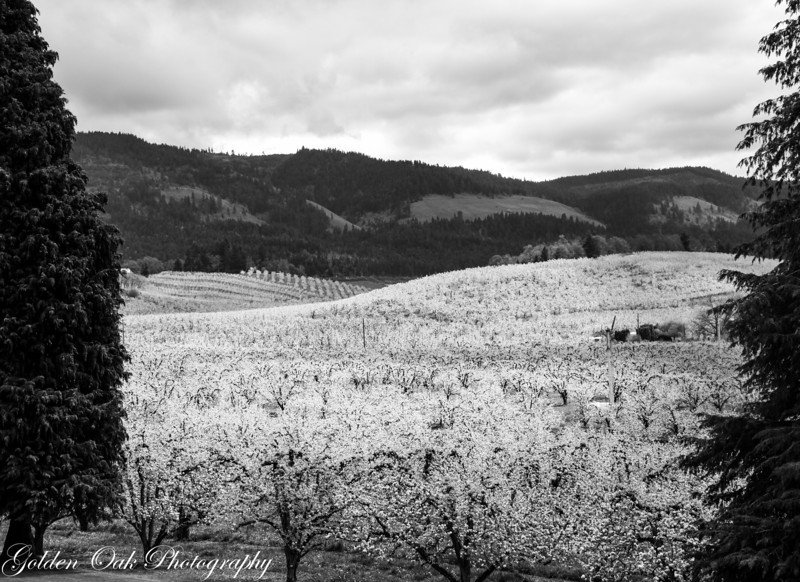 In the BW shot the white of the fruit blossoms really stands out against the darkness of the hills and sky.