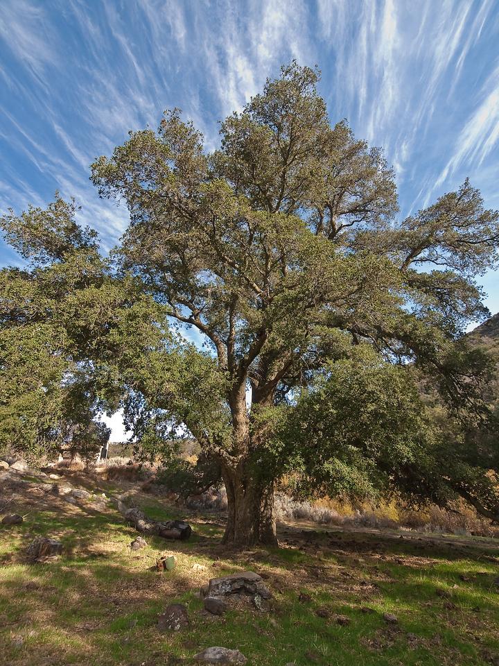Secret Canyon Oak