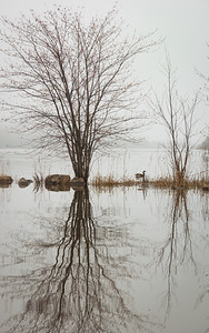 Tree reflection and Canada goose on a foggy morning