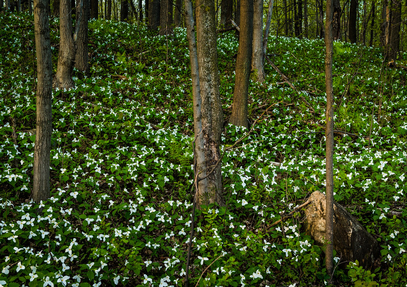 Trilliums in bloom