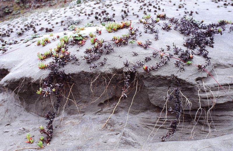 Ice Plant, Arcata Dunes, California