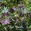 98  G Purple Lupine