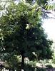 cassia leptophyla (very mature)