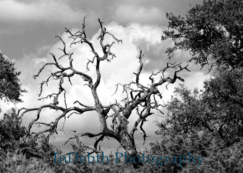 1593 5X7 Austin Tree