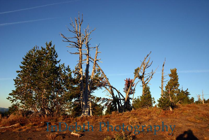 0854 Mt Hood tree
