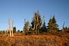 0851 Mt Hood tree