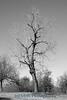 0931  Ft smith tree BW