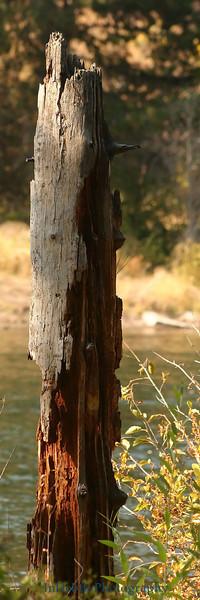 9750 Bend Tree stump