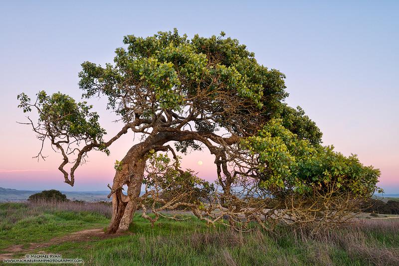 Helen's Tree