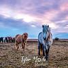 396  G Þórshöfn Horses
