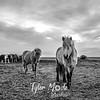 397  G Þórshöfn Horses BW