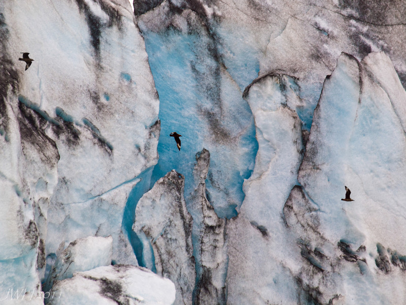 Great Skuas Jökulsárlón glacier from the lagoon