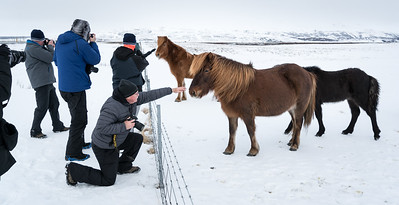Icelandic Horses are everywhere -- friendly and curious.  We learned that the breed, developed in Iceland, is truly a horse, not a pony.