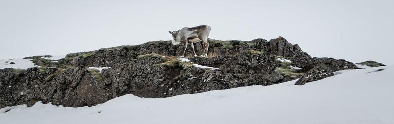 Grazing Caribou