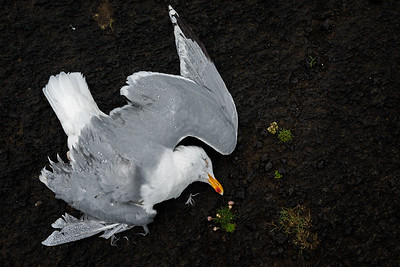 Dead European herring gull on lava