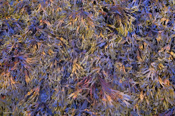 Saras Weed