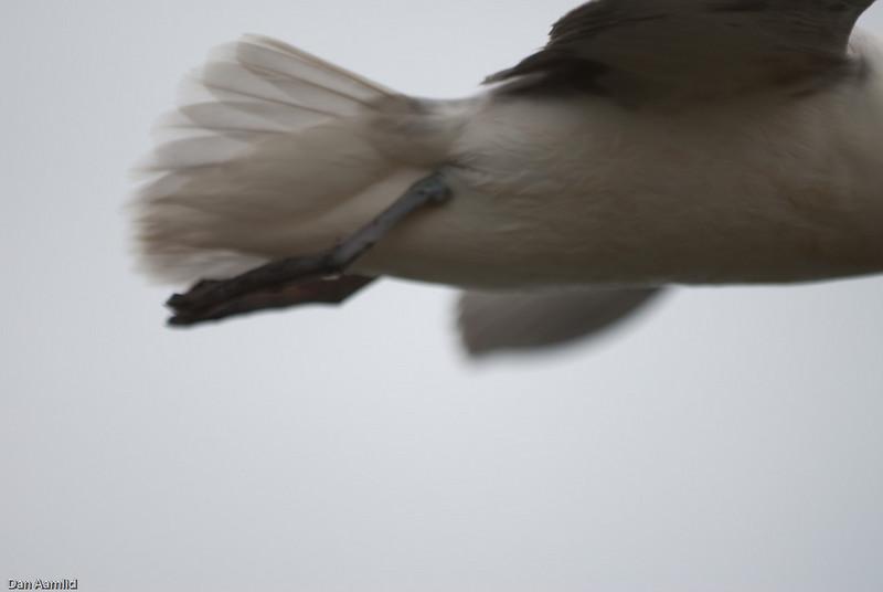 Havhest (Fulmarus glacialis), Island 2009
