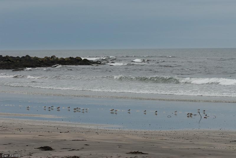 Sandløper (Calidris alba)