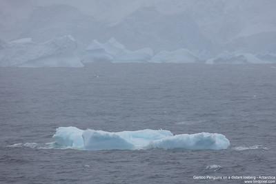 Gentoo Penguins on a distant Iceberg - Antarctica