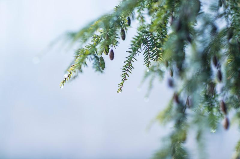 Winter Hemlock