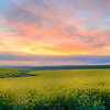 Canola Fields, Camas Prairie