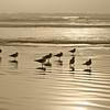 Kalaloch Gulls