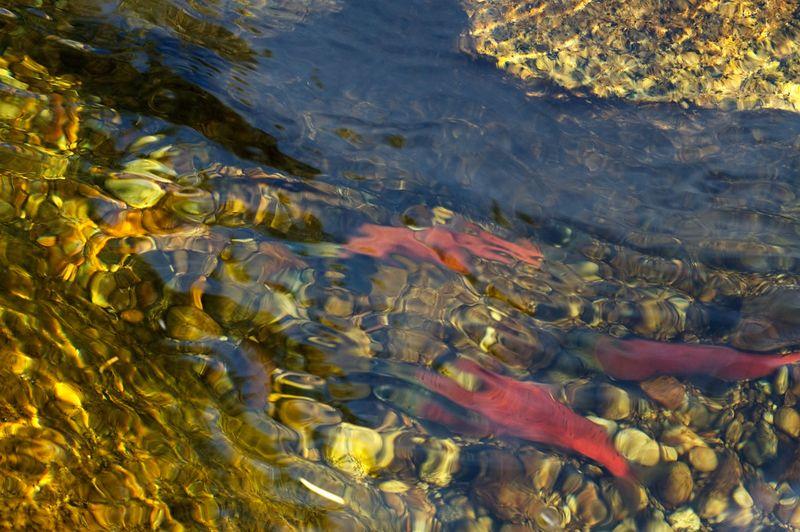 Kokanee Salmon, McCall, Idaho