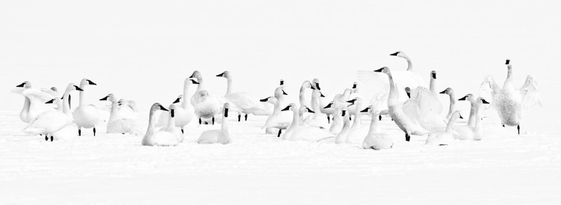 Tundra Swans on Snow-covered Payette Lake,McCall, Idaho