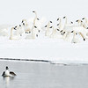 Tundra Swans and Goldeneye, Payette Lake, McCall, Idaho