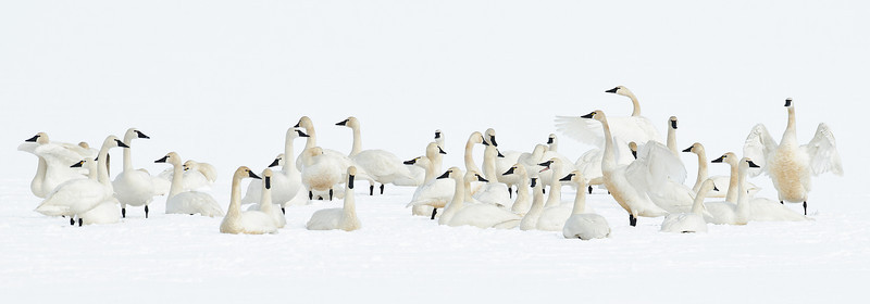 Tundra Swans on Payette Lake, McCall, Idaho