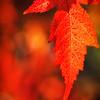 Boise Red Leaf