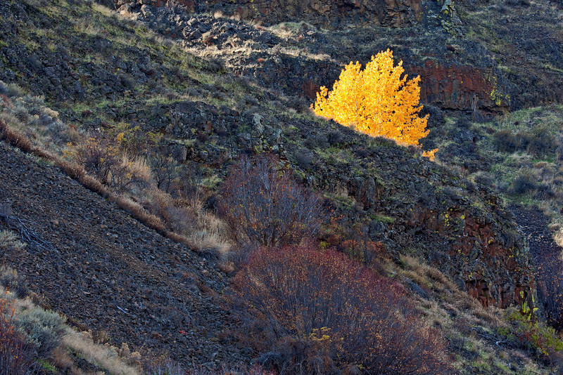 A lone cottonwood on the north face of Umtanum Canyon (off SR 821).