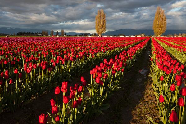 Tulip Festival in Mt. Vernon