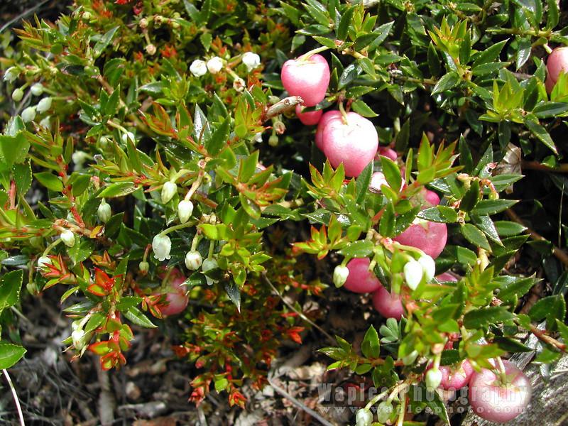N3988 Edible Berries-73