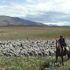 N4134 Sheep Herder-108