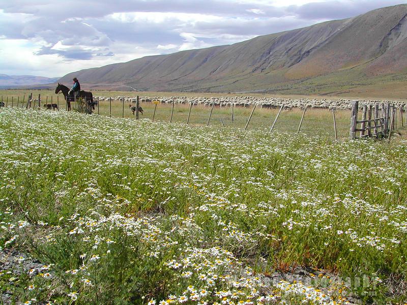 N4141 Daisies and Sheep-109